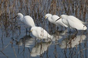 Egret Hunting Party